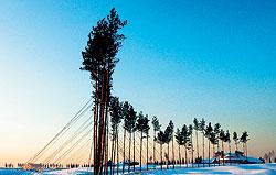 Посадка сосен вдоль дороги Агаларовского поселка